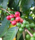 Colombia Pijao Decaf location